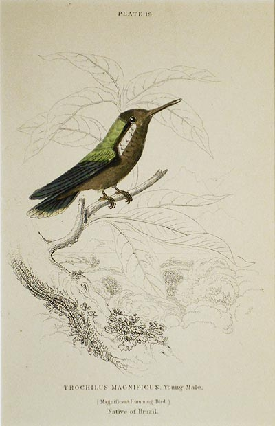 Trochilus Magnificus, Young Male (Magnificent Humming Bird) Native of Brazil [matted hand-colored steel engraving from Sir William Jardine's The Naturalist's Library]. William H. Lizars.