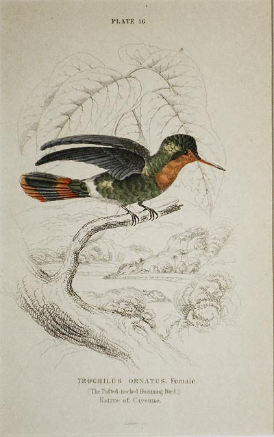 Trochilus Ornatus, Female (The Tufted-neck Humming-Bird) Native of Cayenne [matted hand-colored steel engraving from Sir William Jardine's The Naturalist's Library]. William H. Lizars.