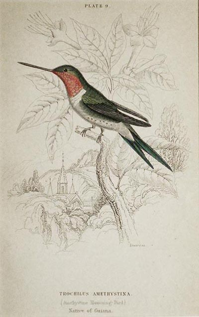 Trochilus Amethystina (Amethystine Humming-Bird) Native of Guiana [matted hand-colored steel engraving from Sir William Jardine's The Naturalist's Library]. William H. Lizars.
