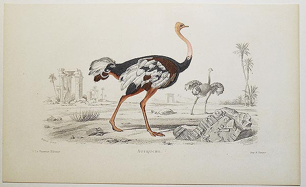 Autruche [handcolored copperplate engraving from a painting of an ostrich]. Edouard Travies.