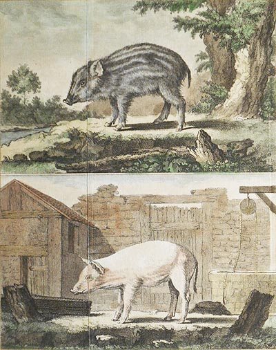 Le Marcassin [and] Le Cochon de Lait [1 handcolored copperplate engraving of a wild boar and a domesticated pig from Buffon's Histoire Naturelle]. Jacques de Sève.