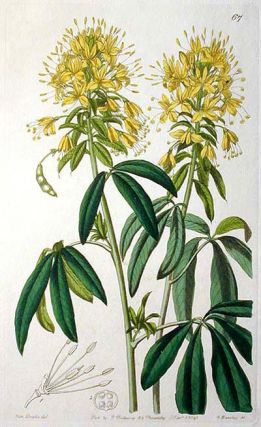 Golden Cleome -- Hand-Colored Engraving from Sydenham Edwards' Botanical Register 1841
