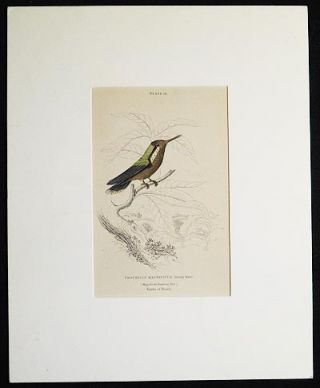 Trochilus Magnificus, Young Male (Magnificent Humming Bird) Native of Brazil [matted hand-colored steel engraving from Sir William Jardine's The Naturalist's Library]