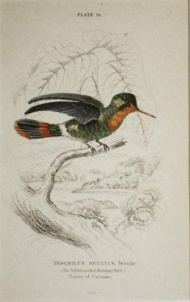 Trochilus Ornatus, Female (The Tufted-neck Humming-Bird) Native of Cayenne [matted hand-colored...
