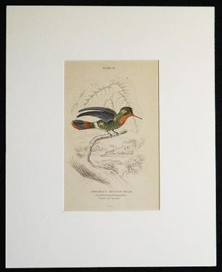 Trochilus Ornatus, Female (The Tufted-neck Humming-Bird) Native of Cayenne [matted hand-colored steel engraving from Sir William Jardine's The Naturalist's Library]