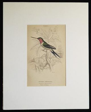 Trochilus Amethystina (Amethystine Humming-Bird) Native of Guiana [matted hand-colored steel engraving from Sir William Jardine's The Naturalist's Library]