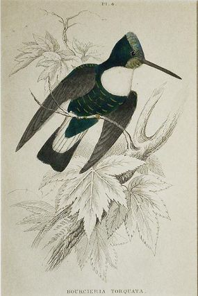 Bourcieria Torquata [matted hand-colored steel engraving of a hummingbird from Sir William...
