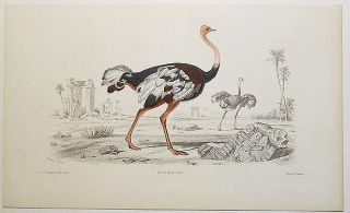 Autruche [handcolored copperplate engraving from a painting of an ostrich]. Edouard Travies