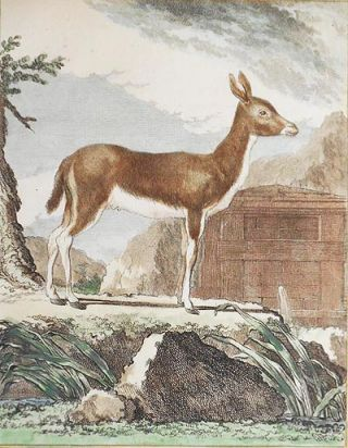 Le Ritbok Femelle [1 handcolored copperplate engraving of an antelope from Buffon's Histoire...