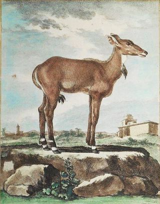 Le Nilgaut Femelle [1 handcolored copperplate engraving of an antelope Nilgaut (Boselaphus...