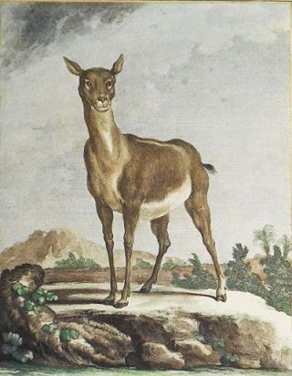 L'Antilope Femelle [1 handcolored copperplate engraving of an antelope from Buffon's Histoire...
