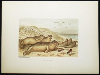 Common Seals [chromolithograph printed by L. Prang & Co